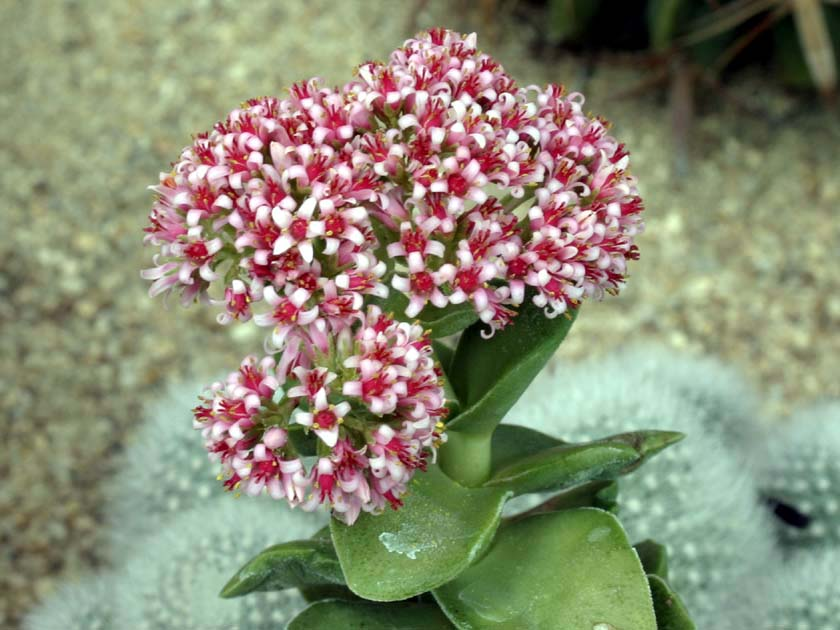 Crassula 'Morgan-Beauty'