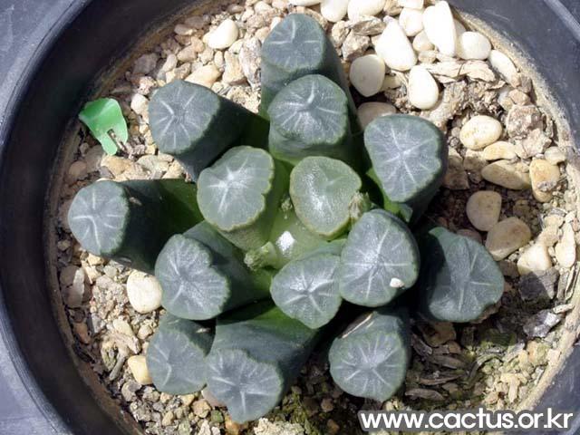 만상(万象, Haworthia truncata var. maughanii.)
