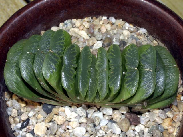 그린옥선 Haworthia truncata 'Green'