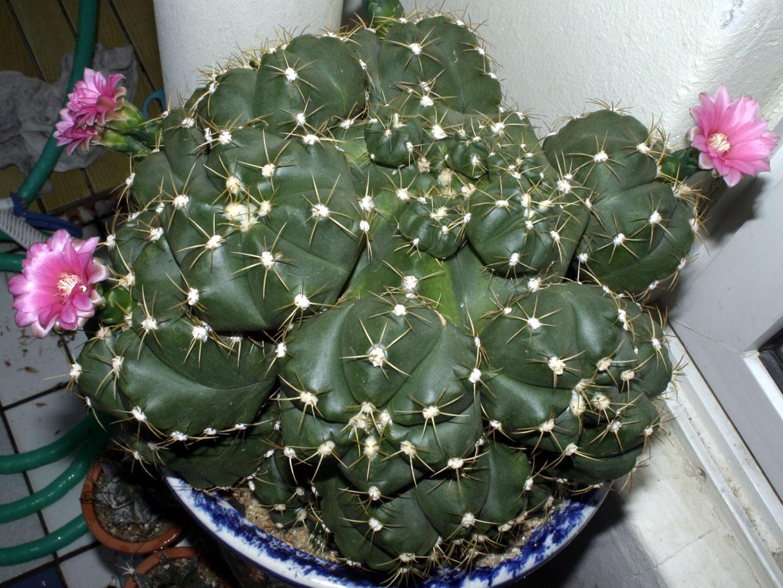 해왕환 Gymnocalycium horstii var. pentacanthum