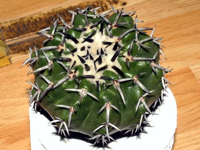 Discocactus placentiformis 행기(行基)