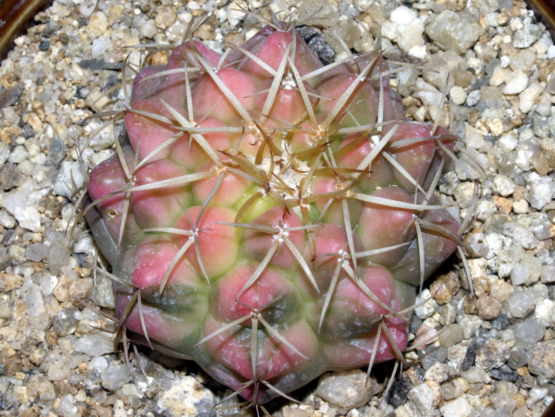 행기금(行基錦) Discocactus placentiformis vareigata