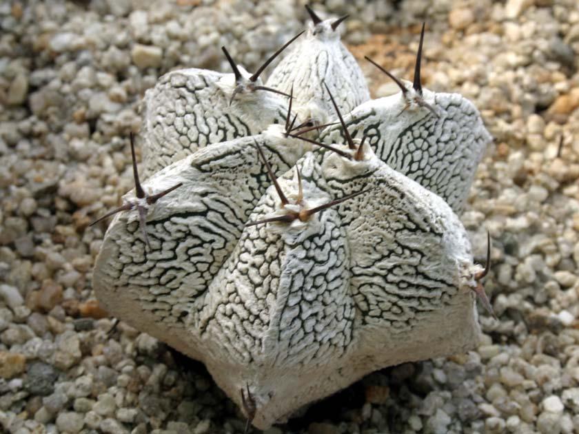 은총 반야(恩塚般若)  Astrophytum ornatum cv. onzuka