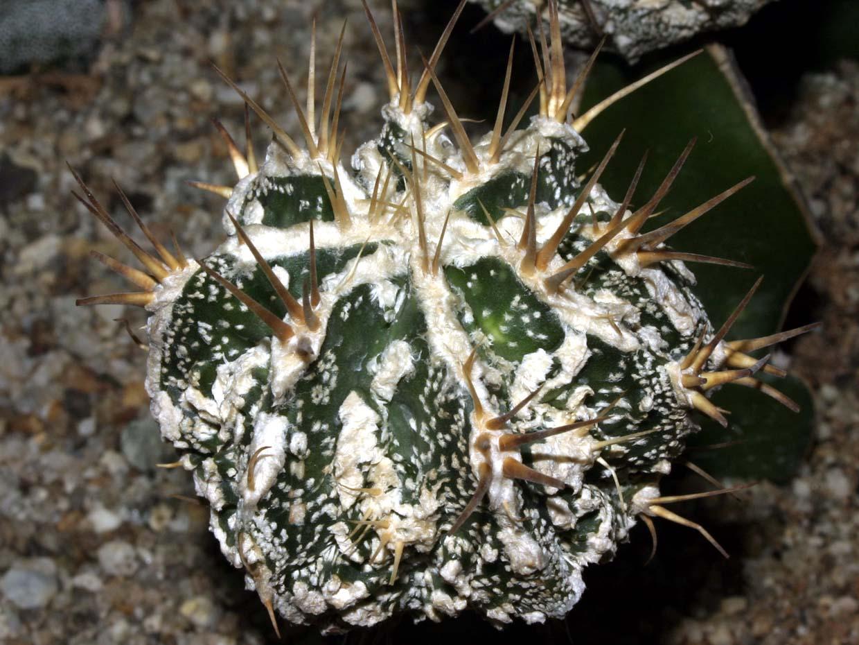 복융반야 Astrophytum ornatum cv. FUKURIYU