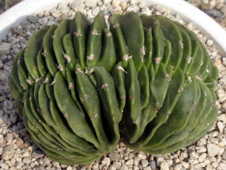 벽유리 난봉옥철화 Astrophytum myriostigma var. nudum cristata
