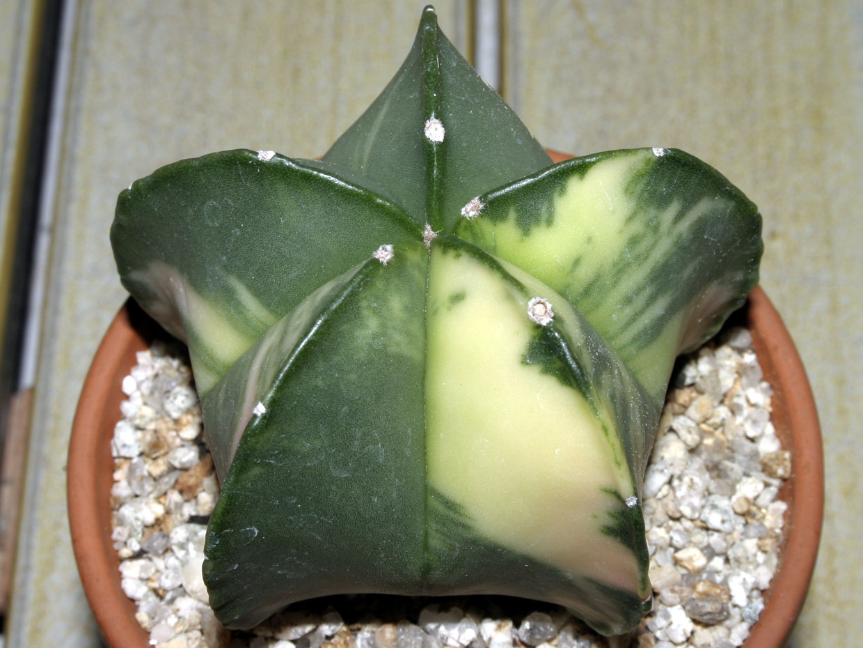 청난봉옥금 = 벽유리 난봉옥(靑鸞鳳玉 = 碧瑠璃鸞鳳玉)  Astrophytum myriostigma var. nudum