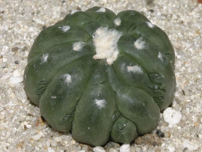 유리두금(瑠璃兜錦, 碧瑠璃兜丸錦) Astrophytum asterias var. nuda