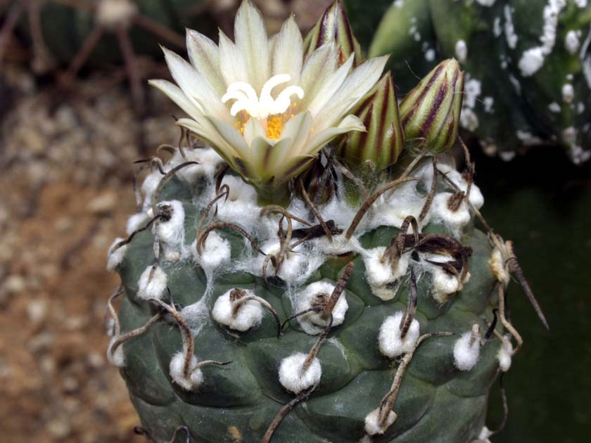 Turbinicarpus macrochele