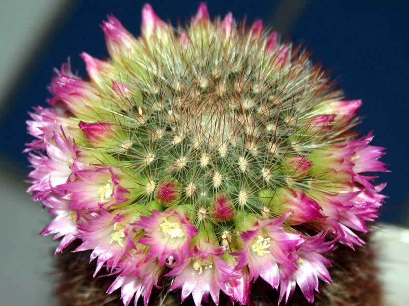 성성환(猩猩丸, Mammillaria spinosissima)