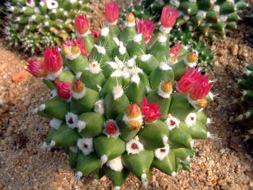 영춘환(永春丸, Mammillaria gigantea variegata)