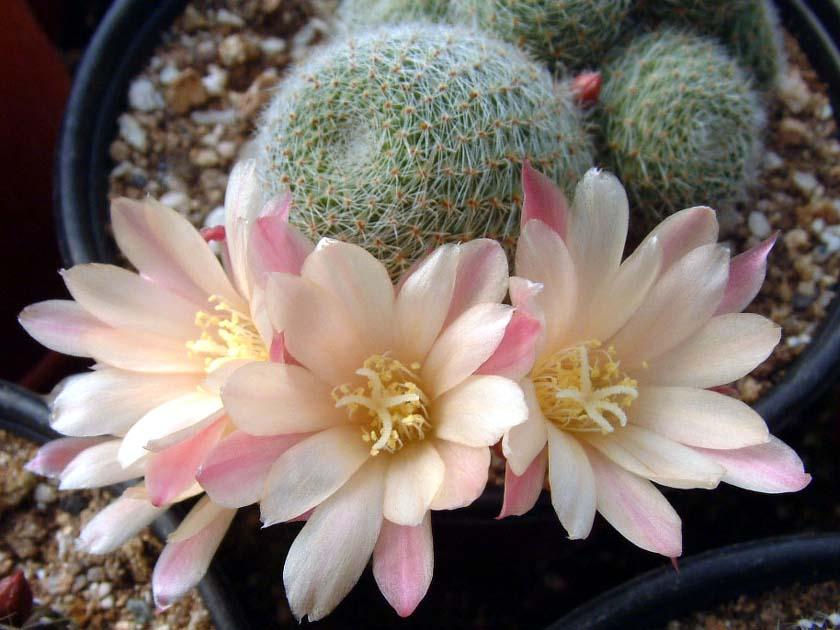 만월(滿月, Mammillaria candida var. estanzuelensis)