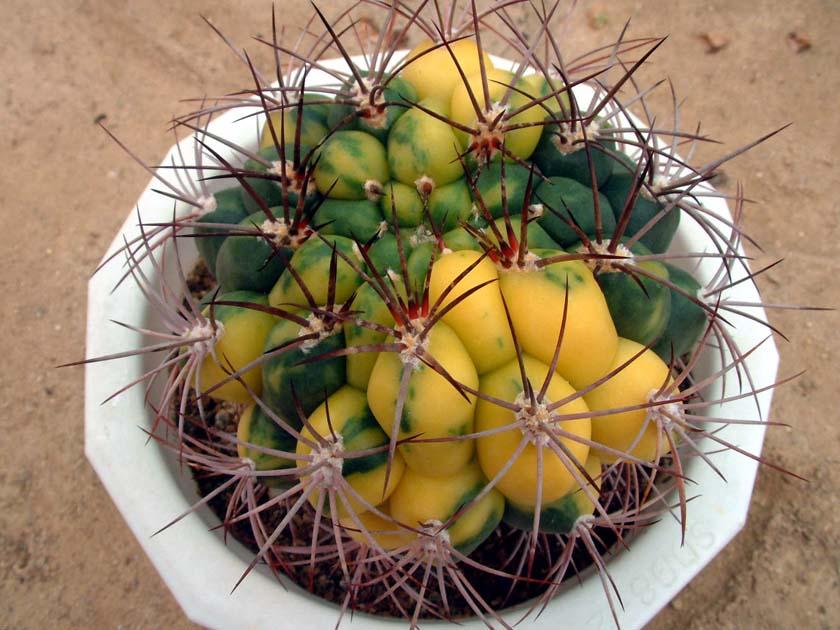 신천지금(新天地錦, Gymnocalycium saglionis variegata)