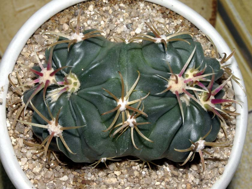 일출환(日出丸, Ferocactus latispinus)