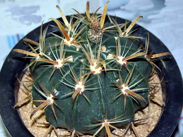 Ferocactus latispinus var. flavispinus