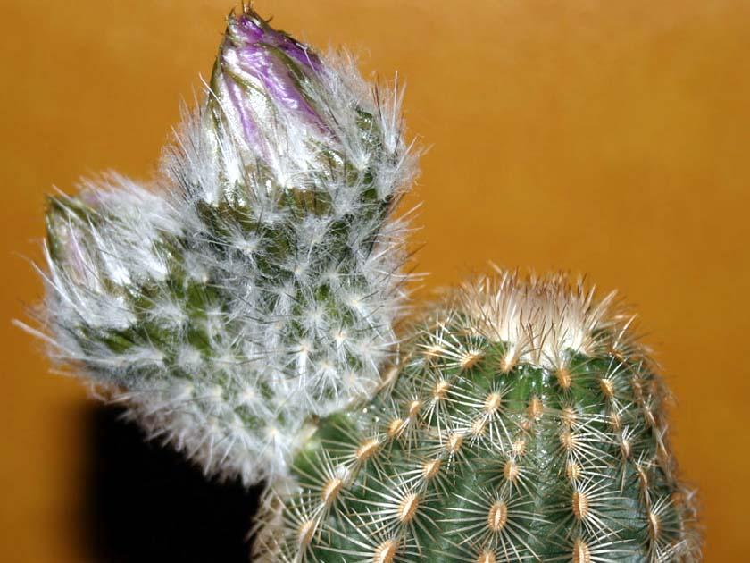태양(太陽, Echinocereus rigidissimus)