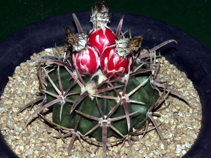 능파(綾波, Echinocactus texensis)
