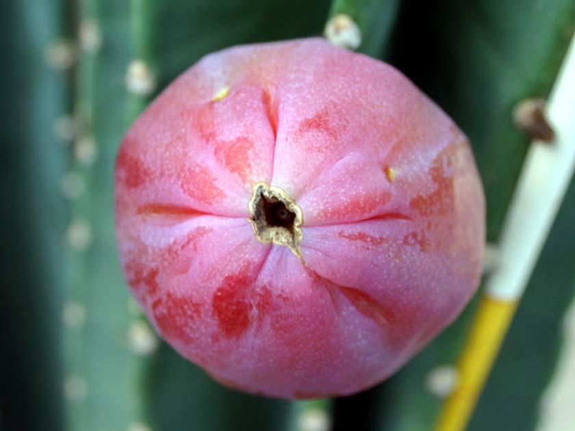 귀면각 열매