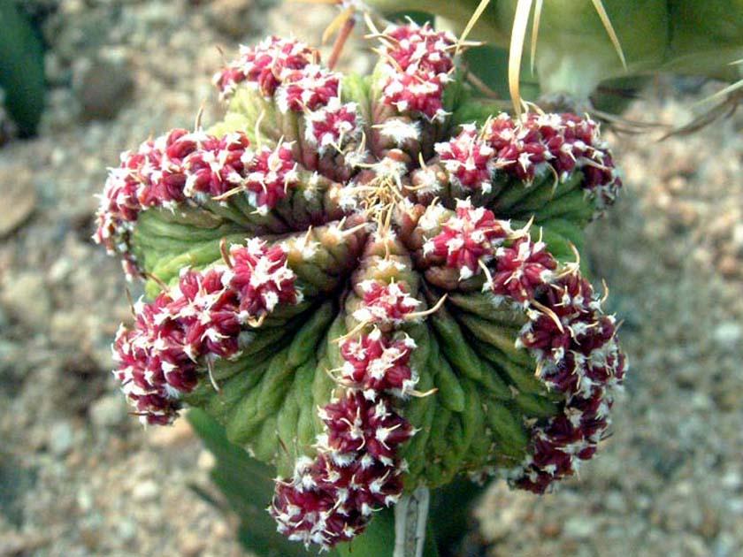 화롱(花籠, Aztekium ritteri)