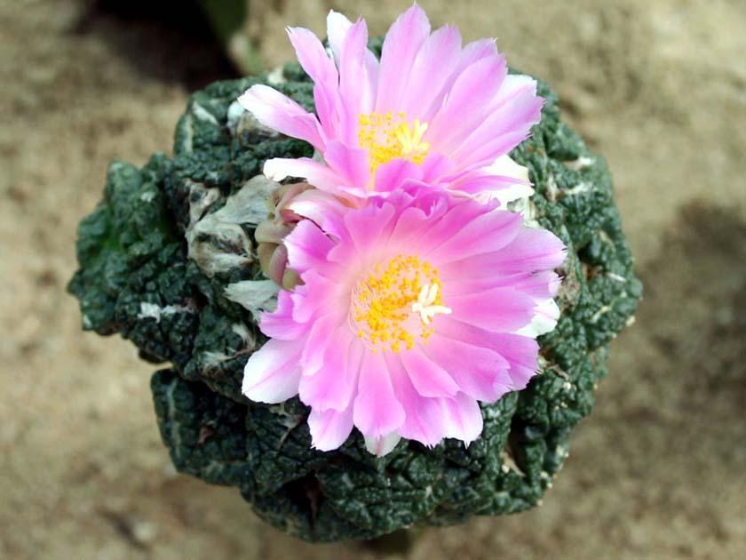 구갑목단(龜甲牧丹, Ariocarpus fissuratus)