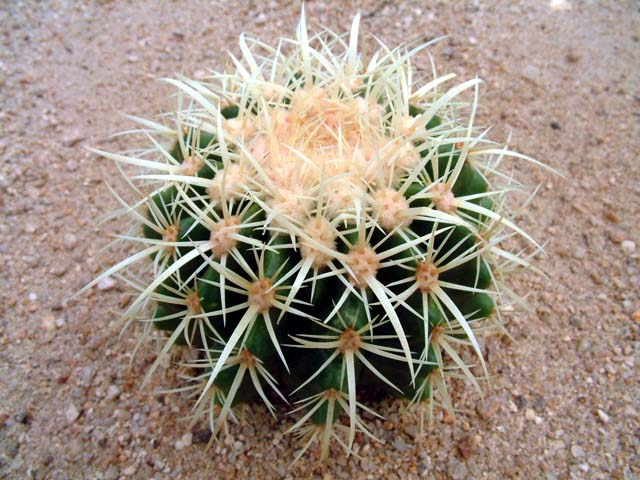 echinocactus_04.jpg