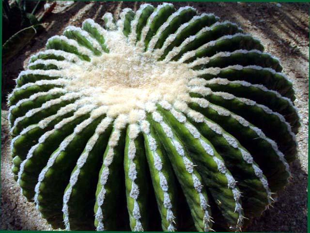 echinocactus_03.jpg