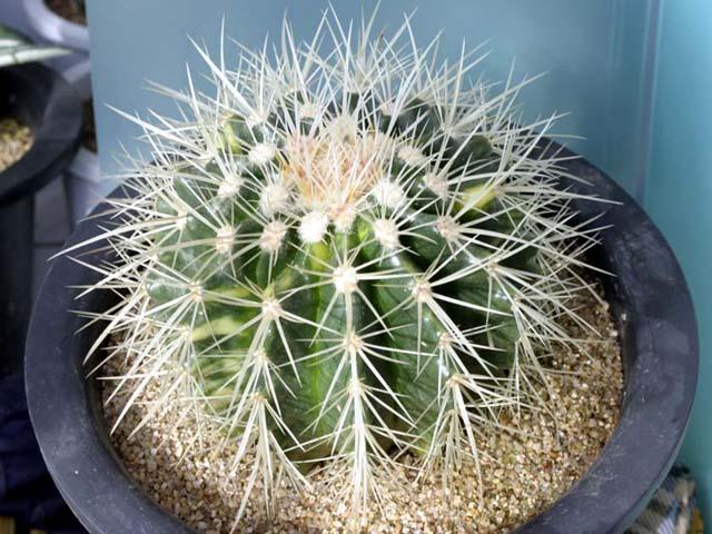 echinocactus_02.jpg