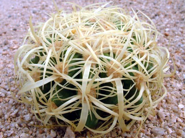 echinocactus_05.jpg