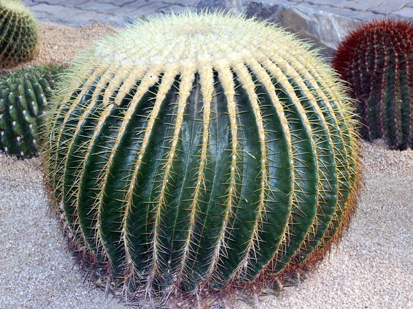 echinocactus_01.jpg