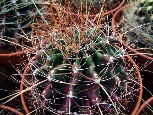 Hamatocactus_sinuatus.jpg